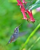 Rufous Kolibrie - wijfje Royalty-vrije Stock Afbeelding