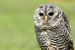 Rufous-legged owl Stock Photos