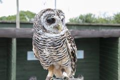Rufous Legged Owl. A Rufous Legged Owl (Strix rufipes royalty free stock photography