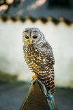 The rufous-legged owl - Strix rufipes - is a Stock Images