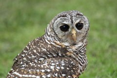 Rufous-legged owl Royalty Free Stock Photography