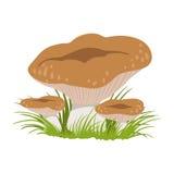 Rufous milkcap or lactarius rufus, edible forest mushrooms. Colorful cartoon illustration Royalty Free Stock Photography