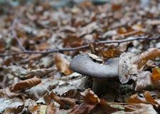 Rufous Milkcap, Lactarius rufus mushroom Stock Image