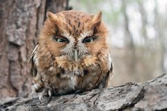 Rufous morph Eastern Screech Owl, Georgia USA stock photography