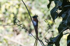 Rufous morph Indian paradise flycatcher or Terpsiphone paradisi. The Indian paradise flycatcher is a medium-sized passerine bird native to Asia that is widely royalty free stock photography