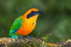 Rufous Motmot. Adult Rufous Motmot, Perched On Branch, Tandayapa Bird Lodge, Ecuador Royalty Free Stock Photos