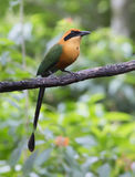 Rufous Motmot, Baryphthengus martii. Rufous Motmot perched on a branch Stock Photo