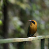 Rufous Motmot, Baryphthengus Martii. Wildlife in Costa Rica Stock Photo