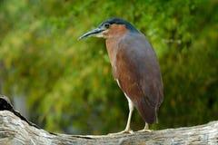 Free Rufous Nankeen Night Heron, Nycticorax Caledonicus, Grey Brown Water Bird Sitting On The Branch Above The Water, Australia. Stock Photo - 144836720