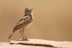 Rufous-naped жаворонок сидит на утесе и вызывает для того чтобы потребовать территорию Стоковое Изображение RF