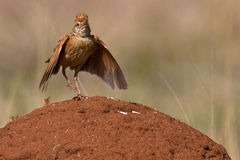 Rufous-naped Lark Stock Photos