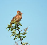 Rufous-Naped Lark. Sitting and calling from a branch Stock Photos