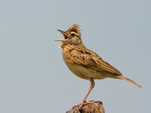 Rufous naped lark Stock Photo