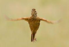Rufous naped lark Arkivfoton