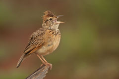 Rufous-naped lark Royalty Free Stock Photo