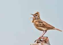 Rufous Naped Lark. Siging for all its worth Royalty Free Stock Images