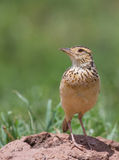 Rufous-naped Lark close-up Stock Image