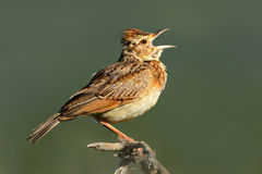 Rufous-naped lark Royalty Free Stock Photos