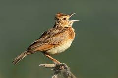 Rufous-naped lark. A rufous-naped lark (Mirafra africana) calling, South Africa Royalty Free Stock Photos