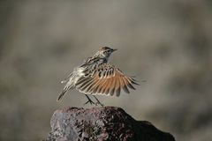 Rufous-naped lark, Mirafra africana Stock Photos