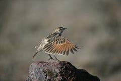 Rufous-naped lark, Mirafra africana. Single bird on rock, Tanzania Stock Photos