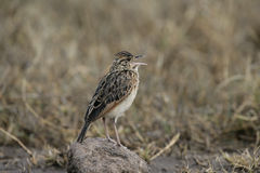 Rufous-naped lark, Mirafra africana Royalty Free Stock Images