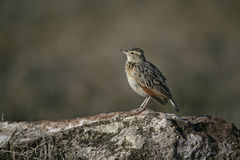 Rufous-naped lark, Mirafra africana Royalty Free Stock Photos