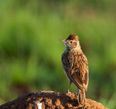 Rufous-naped Lark on mound. Rufous-naped Lark standing on an ant heap looking to the left Royalty Free Stock Images