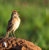 Rufous-naped Lark on mound calling. Rufous-naped Lark standing on an ant heap with mouth open and calling Royalty Free Stock Photo