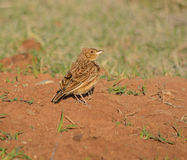 Rufous-naped Lark. A rofous-naped lark perched on a pile of red sand, South africa Stock Images