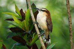 Rufous-Naped winterkoninkje - Campylorhynchus-rufinucha is zangvogel van de familie Troglodytidae, de winterkoninkjes Het is het  royalty-vrije stock fotografie