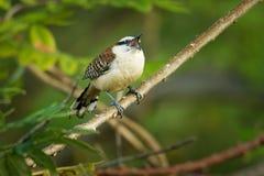 Rufous-Naped winterkoninkje - Campylorhynchus-rufinucha is zangvogel van de familie Troglodytidae, de winterkoninkjes Het is het  royalty-vrije stock afbeeldingen