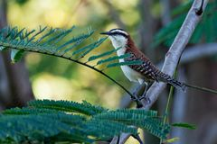 Rufous-Naped winterkoninkje - Campylorhynchus-rufinucha is zangvogel van de familie Troglodytidae, de winterkoninkjes Het is het  royalty-vrije stock foto's