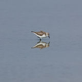The Rufous-necked Stint Stock Photography