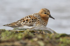 Rufous-necked stint which stands on the banks of the river Royalty Free Stock Photo