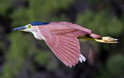 RUFUS NIGHT HERON IN FLIGHT Stock Photo