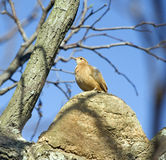 Rufous ovenbird on his own nest made of clay Royalty Free Stock Photography