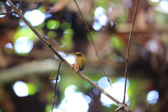 Rufous piculet Royalty Free Stock Photography