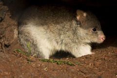 Rufous Rat kangaroo. (also Rufous Bettong), Aepyprymnus rufescens, Australia Royalty Free Stock Images