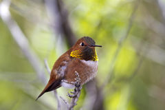 Rufous Resting Stock Photos