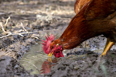 The rufous rooster Royalty Free Stock Images