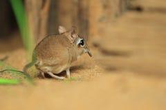 Rufous sengi Стоковое фото RF
