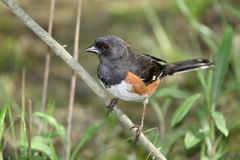 Rufous Sided Towhee Stock Images