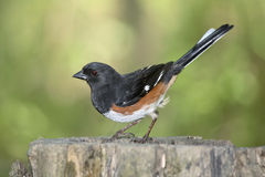 Rufous Sided Towhee Royalty Free Stock Photography