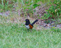 Rufous-sided Towhee in the grass Royalty Free Stock Image