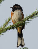 Rufous-sided Towhee (male) Royalty Free Stock Photography