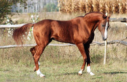 Rufous stallion Stock Images