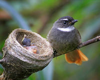 Rufous-tailed Fantail Arkivbilder