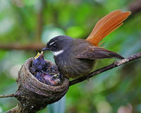 Rufous-tailed Fantail Stock Image