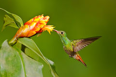 Rufous Tailed Hummingbird. Adult Male Rufous Tailed Hummingbird Feeding at Orange Flower Royalty Free Stock Photography